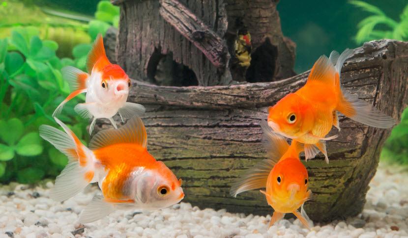 cá vàng làm cá cảnh